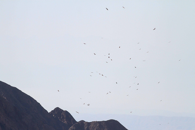 The migration over the Eilat Mountains. Photo by Paul French