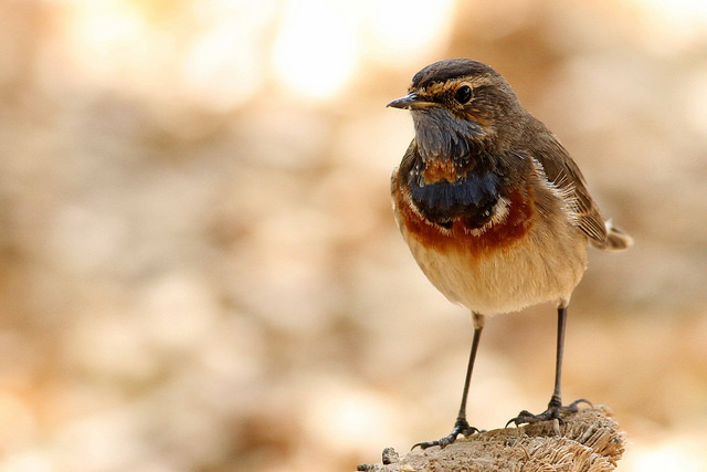 Bluethroat - Photo by Paul French
