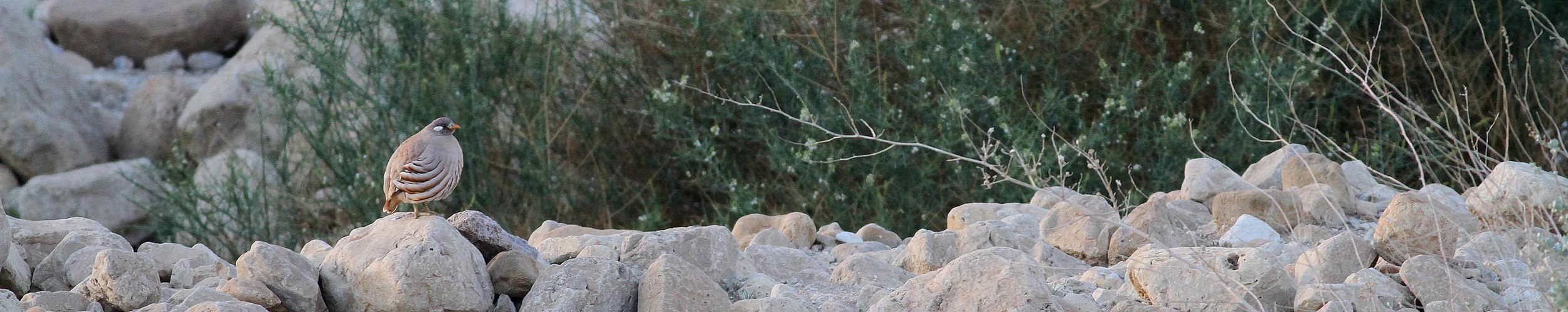 Sand Partridge - Photo Paul French