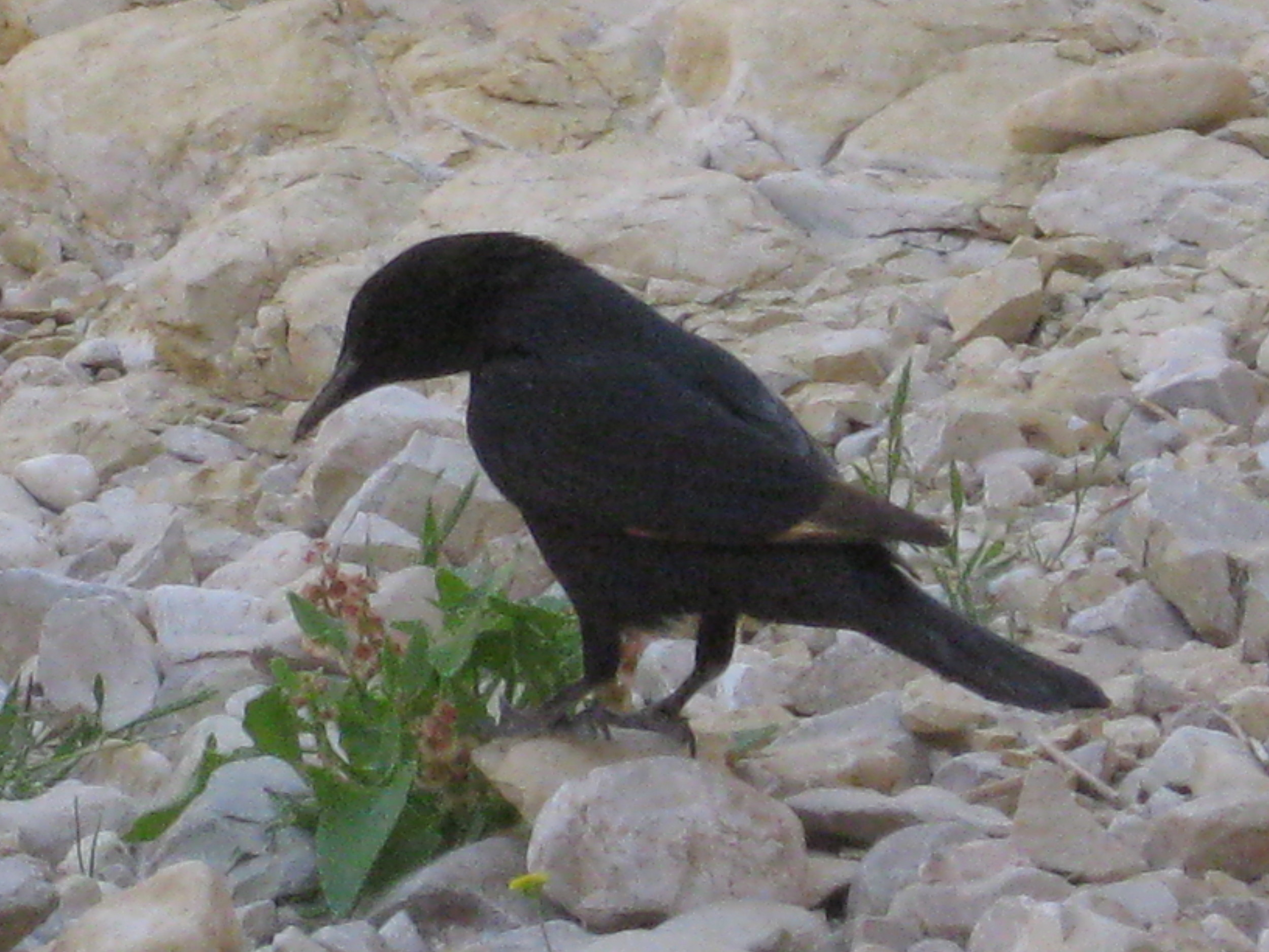 A friendly Tristram's Starling - photo by msm