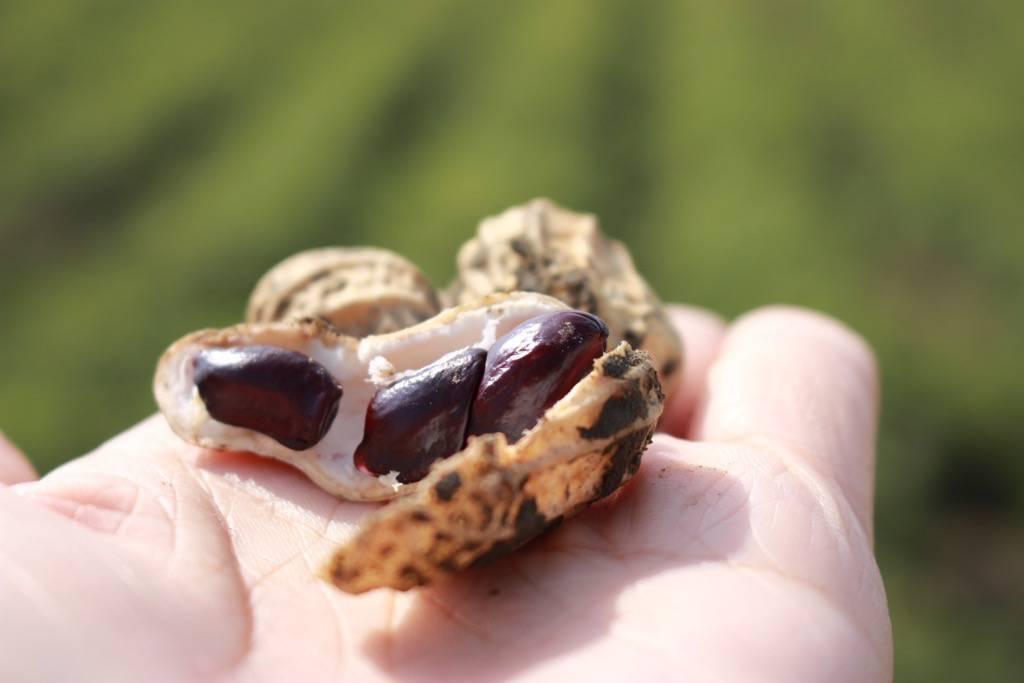 自然農法花生,產量少之又少,收購價格是慣性農法的五倍。