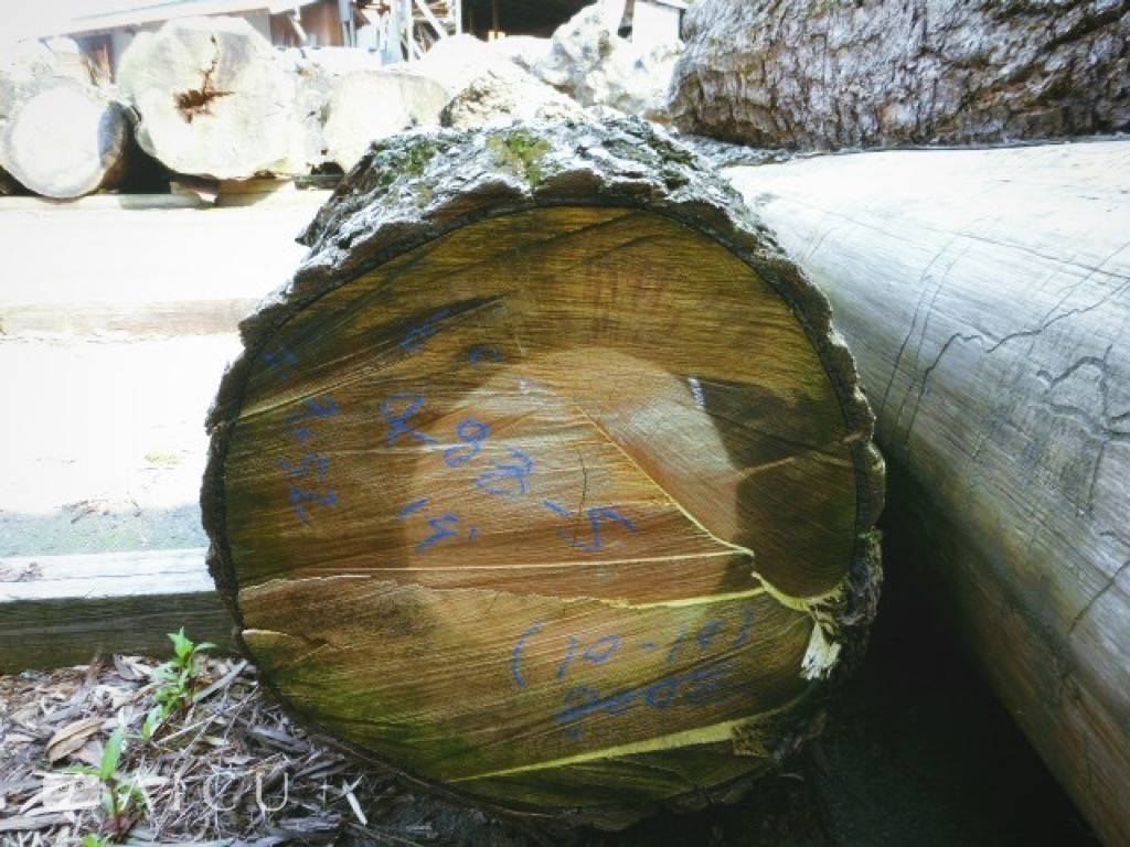 在戶外乾燥場歷經整個颱風季節淋雨的銀杏樹木,樹心部位依舊抗濕。