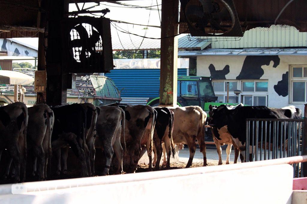 乳牛很怕熱,夏天的時候會全部聚集在有風扇的區域。