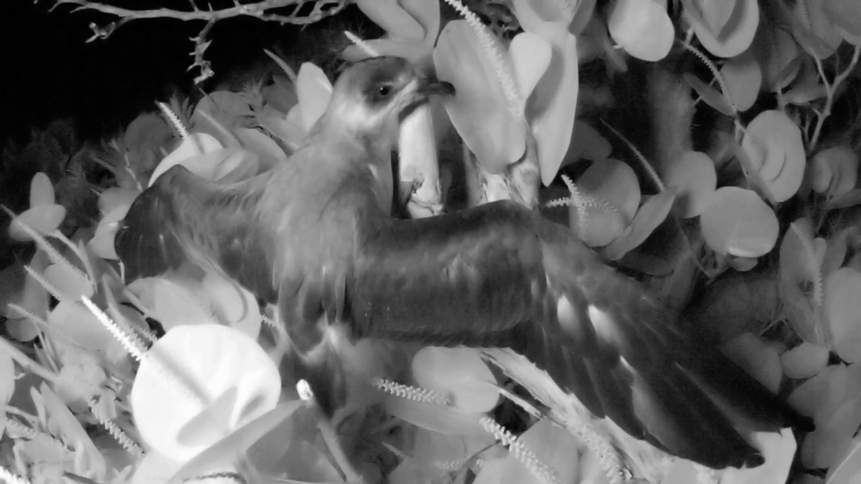 "Nonsuch hatched Cahow chick ""Backson"" exercising at the end of 2013 nesting season.  Image J-P Rouja for LookBermuda"