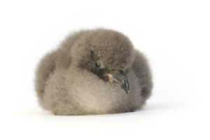 3 day old Cahow chick from 2014 Season