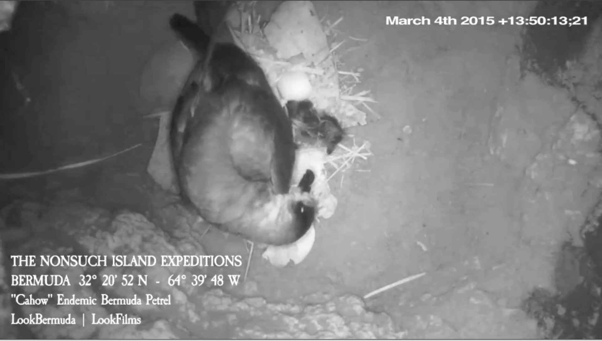 Cahow chick hatching as seen live for the first time ever on the 2015 CahowCam.
