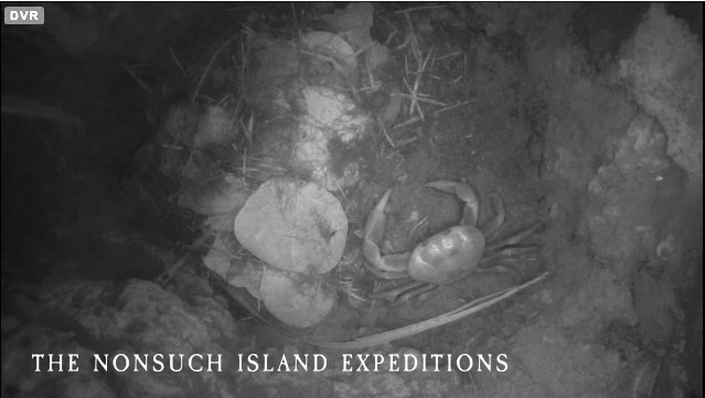 Land crab occupies empty Cahowburrow on Nonsuch Island, Bermuda