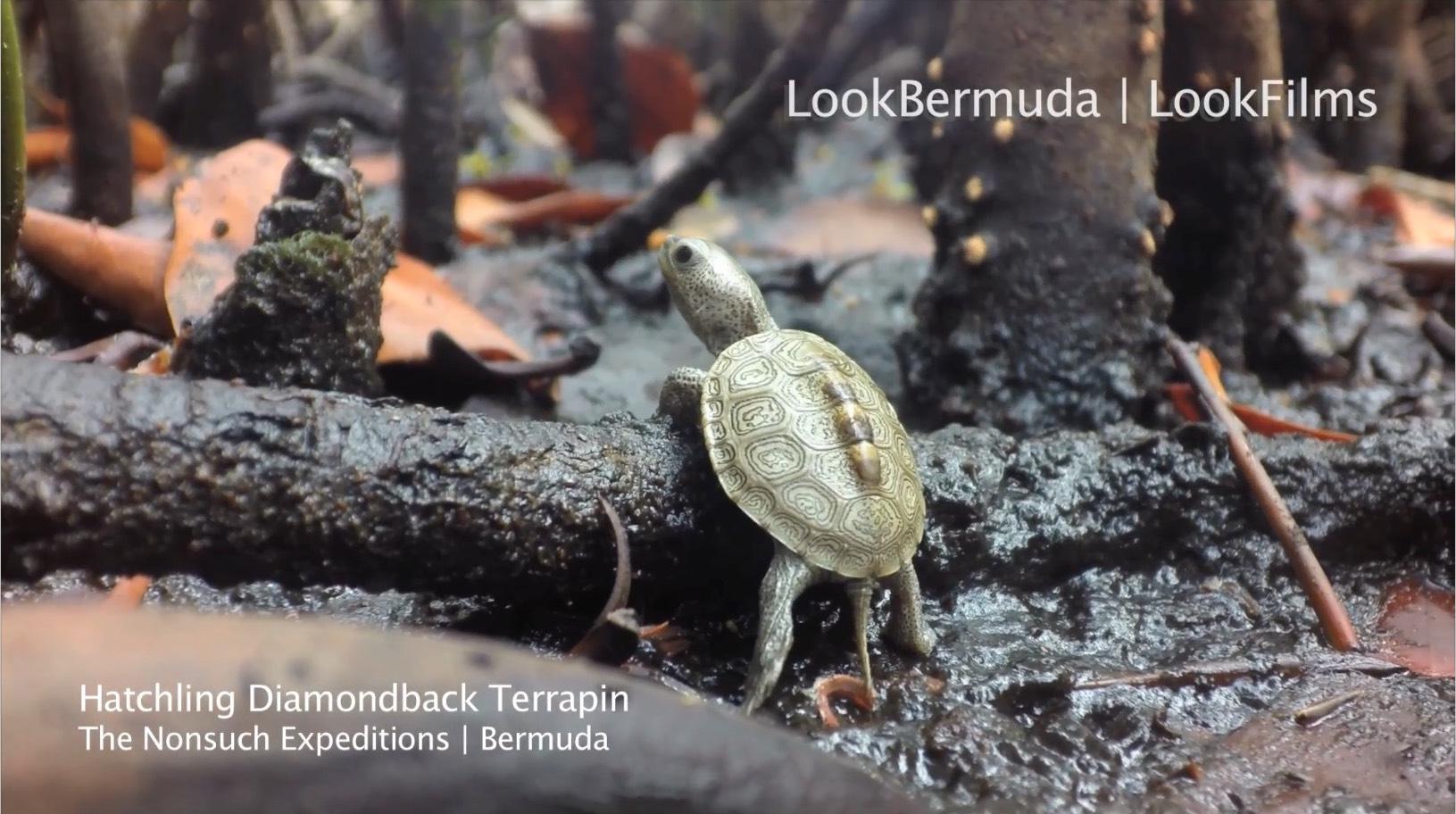 Common name: Diamondback terrapin - Scientific name: Malaclemys terrapin centrata
