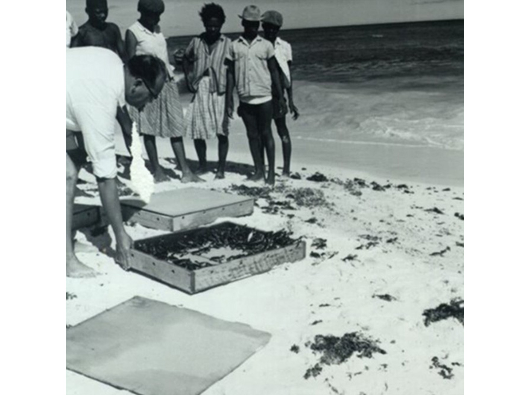 Hatchlings are released in Antigua. Photo courtesy of conserveturtles.org