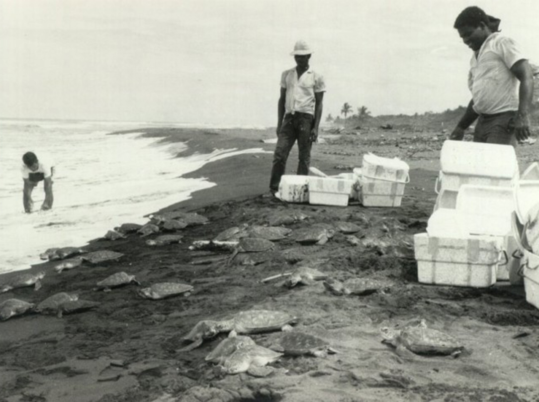 To improve survival rates, the Caribbean Conservation Corporation experimented on Tortuguero by releasing slightly older turtles. The group later reverted to releasing hatchlings for Operation Green Turtle. Photo courtesy of conserveturtles.org