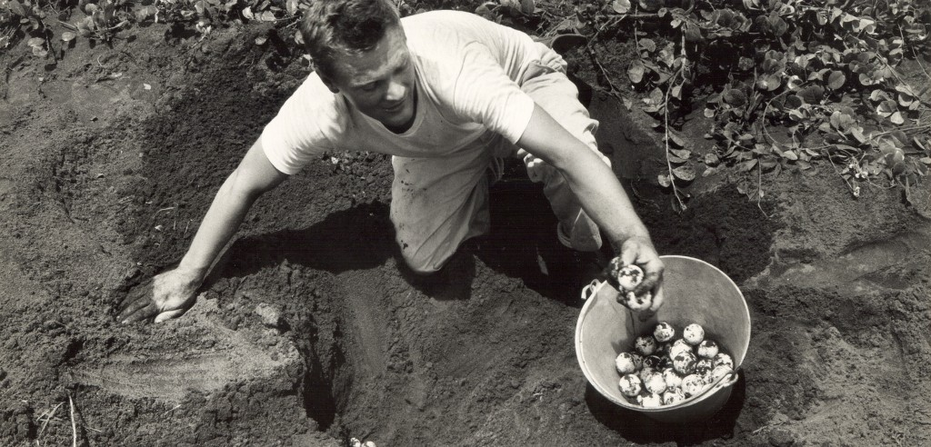 Larry Ogren, a staff member of the Caribbean Conservation Corporation (now known as the Sea Turtle Conservancy),collects eggs from a green turtle nest in Tortuguero, Costa Rica, in 1964 or 1965, as part of Operation Green Turtle. The resulting hatchlings were later relocated to various Caribbean destinations. Photo courtesy of conserveturtles.org