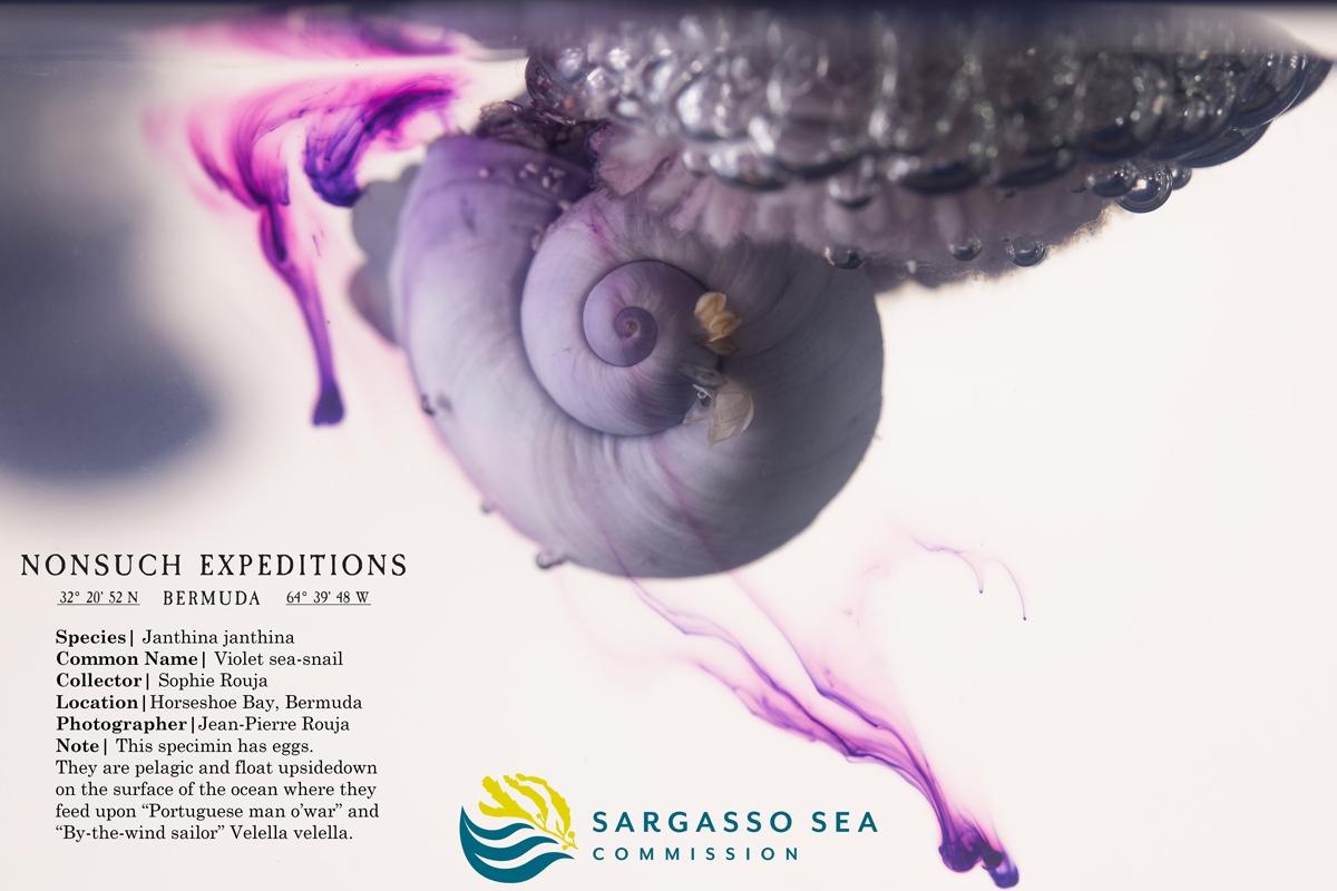 Janthina-janthina | Violet Sea-snail