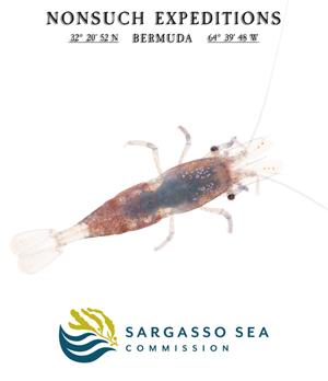 A Sargassum Shrimp
