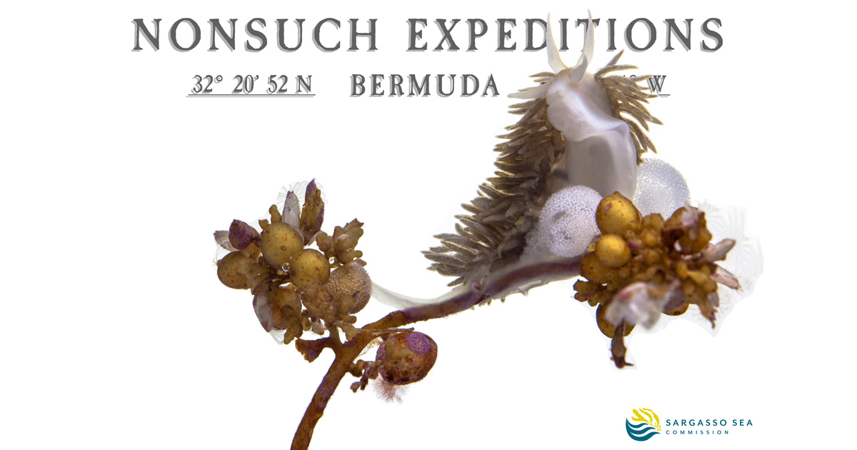 A Nudibranch with its eggs on Sargassum   photo by J-P Rouja collection by Chris Flook