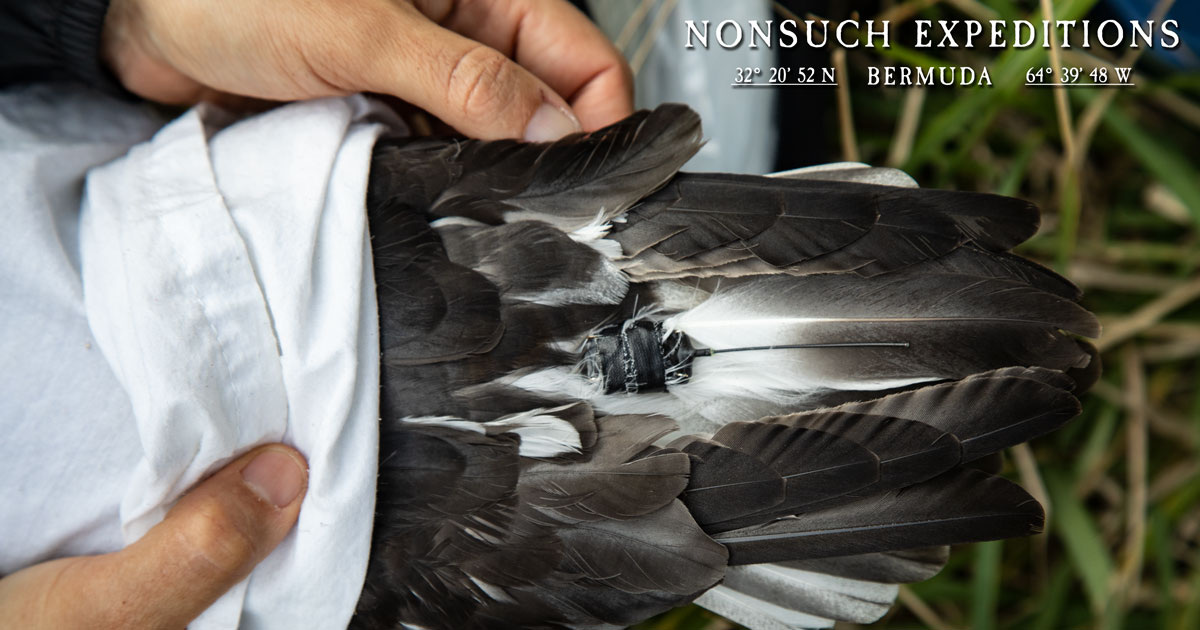 GPS tag taped to tail feathers on Cahow