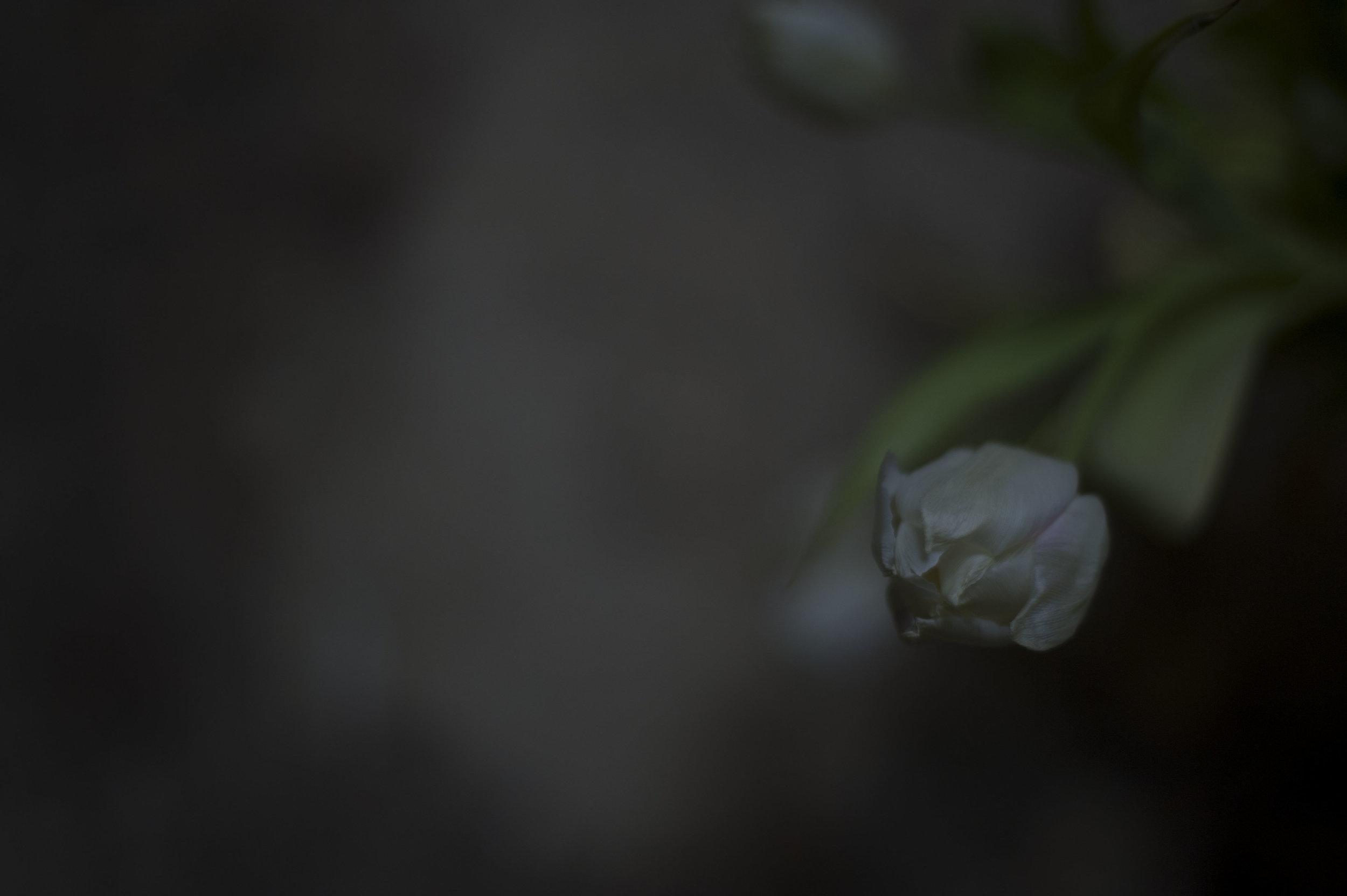 Tulpen_18.JPG