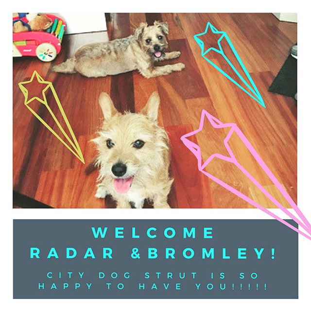 Welcome to City Dog Strut Radar & Bromley! We are so happy to have our first Williamsburg crew! Swipe right to see how well they did with walker Steven!