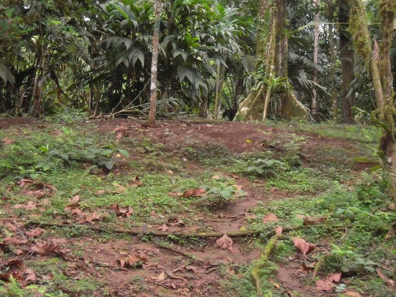 Atta cephalotes  nest at La Selva Biological Station, Costa Rica