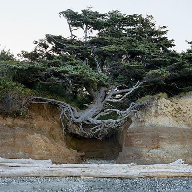 — a tree straddles ocean cliffs.