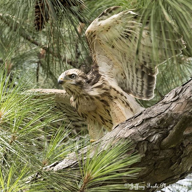 Spread your wings and fly. -  A beautiful Red-shouldered Hawk chick that is ready to go out on its own very soon. 😍😍😍🦅🛫 #jeffreyfeolephotography #theboxergangphotography #theboxergang #petphotography #familyphotography #memories #rescuephotography #rescue  #wildlifephotography #wildlife  #naturephotography #nature #landscapephotography #landscape #birds #birdsofinstagram #birdsofprey #birdofprey #redshoulderedhawk #chick #redshoulderedhawkchick #hawksofinstagram #liveandletlive #dallas #dfw #tx #texas #flyingcreatures #gorgeous #inspiration