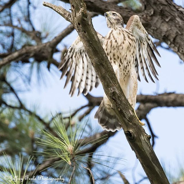 We have liftoff.  A beautiful Juvenile Red-shouldered Hawk. 😍🦅🛫 #jeffreyfeolephotography #theboxergangphotography #theboxergang #petphotography #familyphotography #memories #rescuephotography #rescue  #wildlifephotography #wildlife  #naturephotography #nature #landscapephotography #landscape #birds #birdsofinstagram #birdsofprey #birdofprey #redshoulderedhawk #chick #redshoulderedhawkchick #hawksofinstagram #liveandletlive #dallas #dfw #tx #texas #flyingcreatures #gorgeous #inspiration