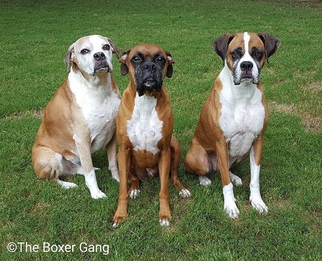 John, Sky, and Jennifer are enjoying some unseasonably pleasant weather.  It is only 78 degrees right now .😍😎☺❤ #theboxergangphotography #theboxergang #petphotography #familyphotography #memories #rescuephotography #rescue #boxersofinstagram #boxers #boxers_ig #dogs #dogsofinstagram #adopt #foster #texas #flowermound #foreverhome #LifeWithADog #LifeIsBetterWithABoxer  #ICanNotImagineLifeWithoutADog #KingJohn #QueenJennifer  #PrinceSky #IWillLoveYouForever #perfectweather #backyard #hangingout #chilling