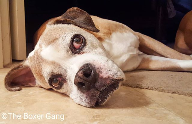 Dear John, that is not how you do it.  Your head should be on the soft part.  You have access to 14 or 15 dog beds, two king size beds, and you choose to put your head on the tile, goofball...!!! 🤣🤣🤣 #theboxergangphotography #theboxergang #petphotography #familyphotography #memories #rescuephotography #rescue #boxersofinstagram #boxers #boxers_ig #dogs #dogsofinstagram #adopt #foster #texas #flowermound #foreverhome #LifeWithADog #LifeIsBetterWithABoxer  #ICanNotImagineLifeWithoutADog #KingJohn #IWillLoveYouForever #perfectweather #backyard #hangingout #chilling #doingitwrong