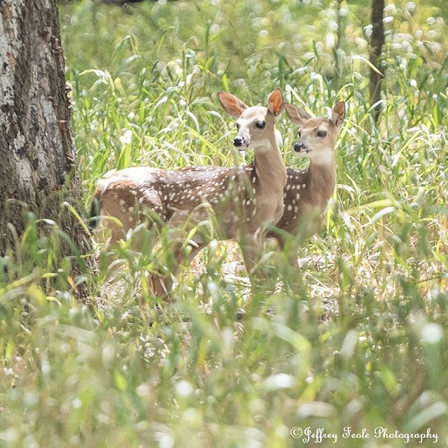 Stunning Fawn twins. They were about 12 inches in height. 😍😍😍 #jeffreyfeolephotography #theboxergangphotography #theboxergang #petphotography #familyphotography #memories #rescuephotography #rescue #nature #naturephotography #wildlife #wildlifephotography #landscape #landscapephotography #deer #fawnsofinstagram  #deerofinstagram #liveandletlive #dallas #dfw #tx #texas #flowermound #twincovespark #gorgeous #littles #fawns #peaceful #tranquility #siblings