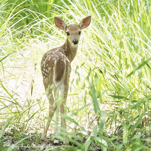 This gorgeous Fawn wants to know why I keep looking at its butt?  What, I can't help it that you have a cute booty. 🤣🤣🤣 😍😍😍 #jeffreyfeolephotography #theboxergangphotography #theboxergang #petphotography #familyphotography #memories #rescuephotography #rescue #nature #naturephotography #wildlife #wildlifephotography #landscape #landscapephotography #deer #fawnsofinstagram  #deerofinstagram #liveandletlive #dallas #dfw #tx #texas #flowermound #twincovespark #gorgeous #littles #fawn #peaceful #tranquility