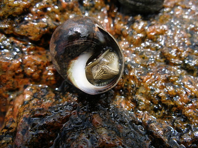 A common periwinkle with it's operculum open.