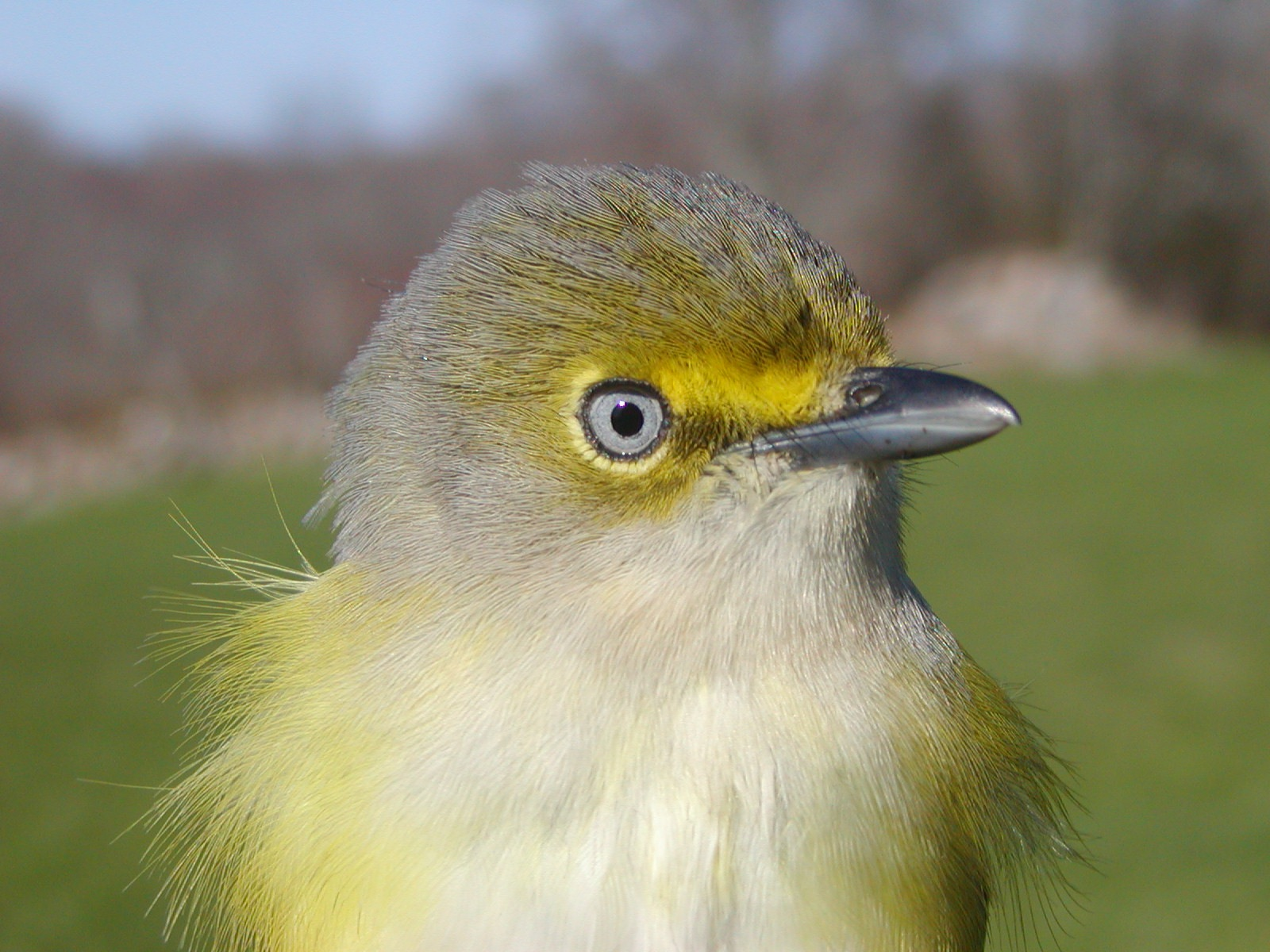 The white eye of the White-eyed vireo gives this bird a demented look. But its unusual eye color makes this bird an easy one to identify. This species of vireo nests on Block Island, and its winter migration may take it as far south as Nicaragua.