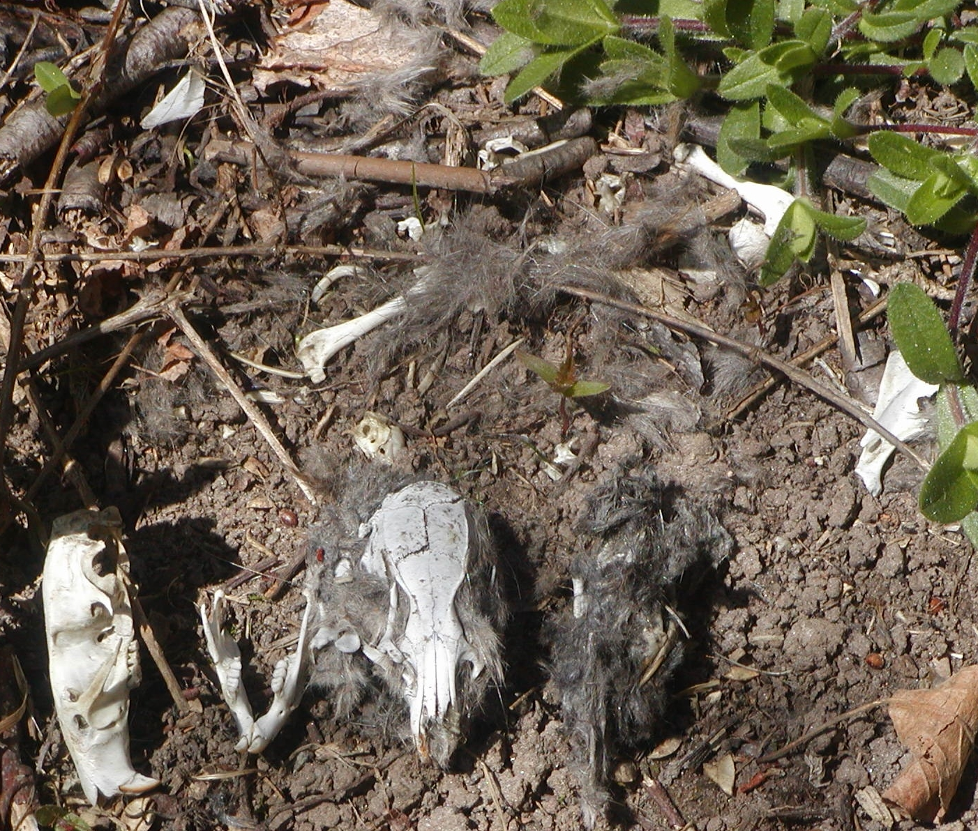 This photo shows the contents of an owl pellet (most likely a barn owl's).