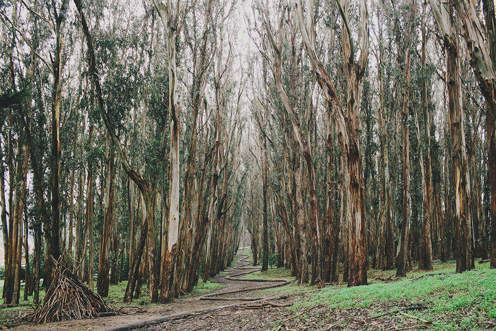 Presidio_Lovers_Lane_Wood_Line_San_Francisco_Photography-01.JPG