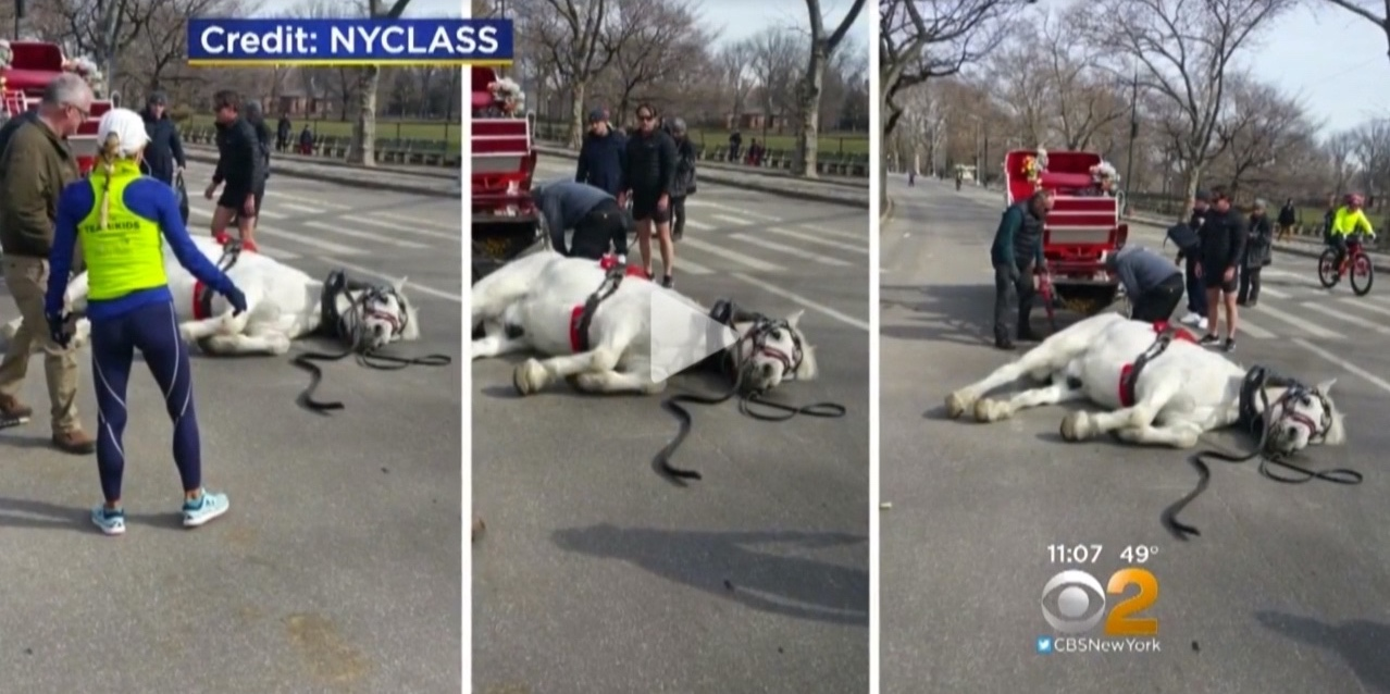 CBS (video):  Advocacy Group Demands Investigation After Carriage Horse Falls