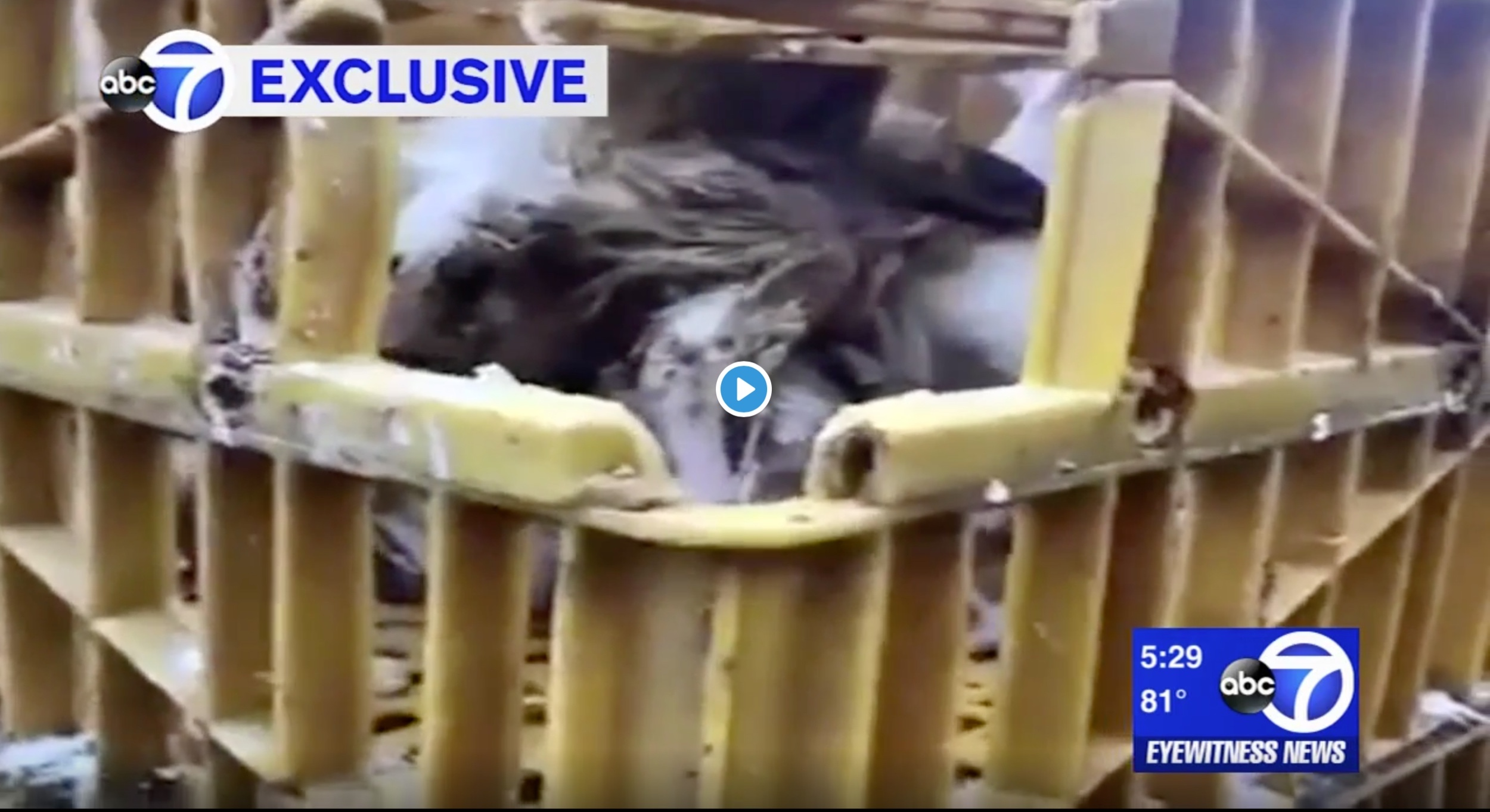 ABC (video):  Exclusive: dead chickens in cages as part of Jewish ritual Kaporos