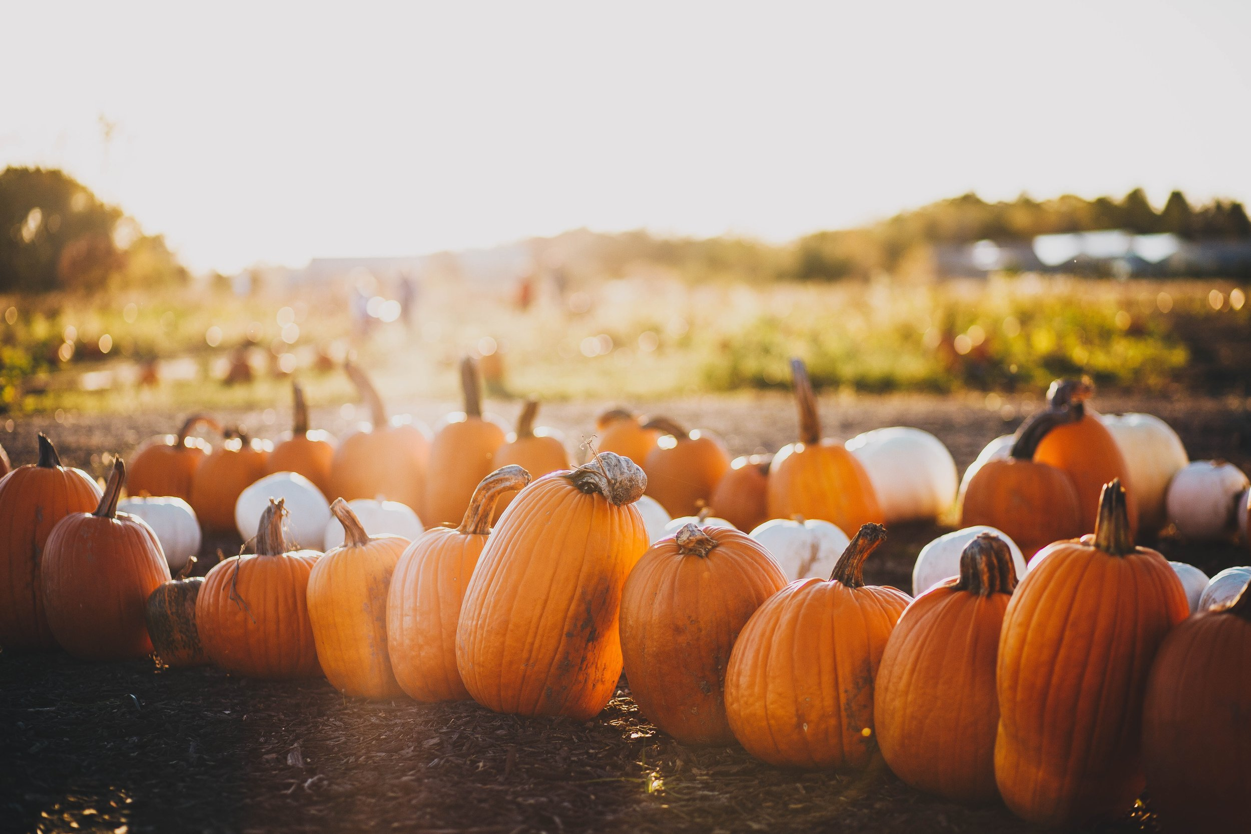 Freshly plucked pumpkins from a patch.  Source: unsplash.com