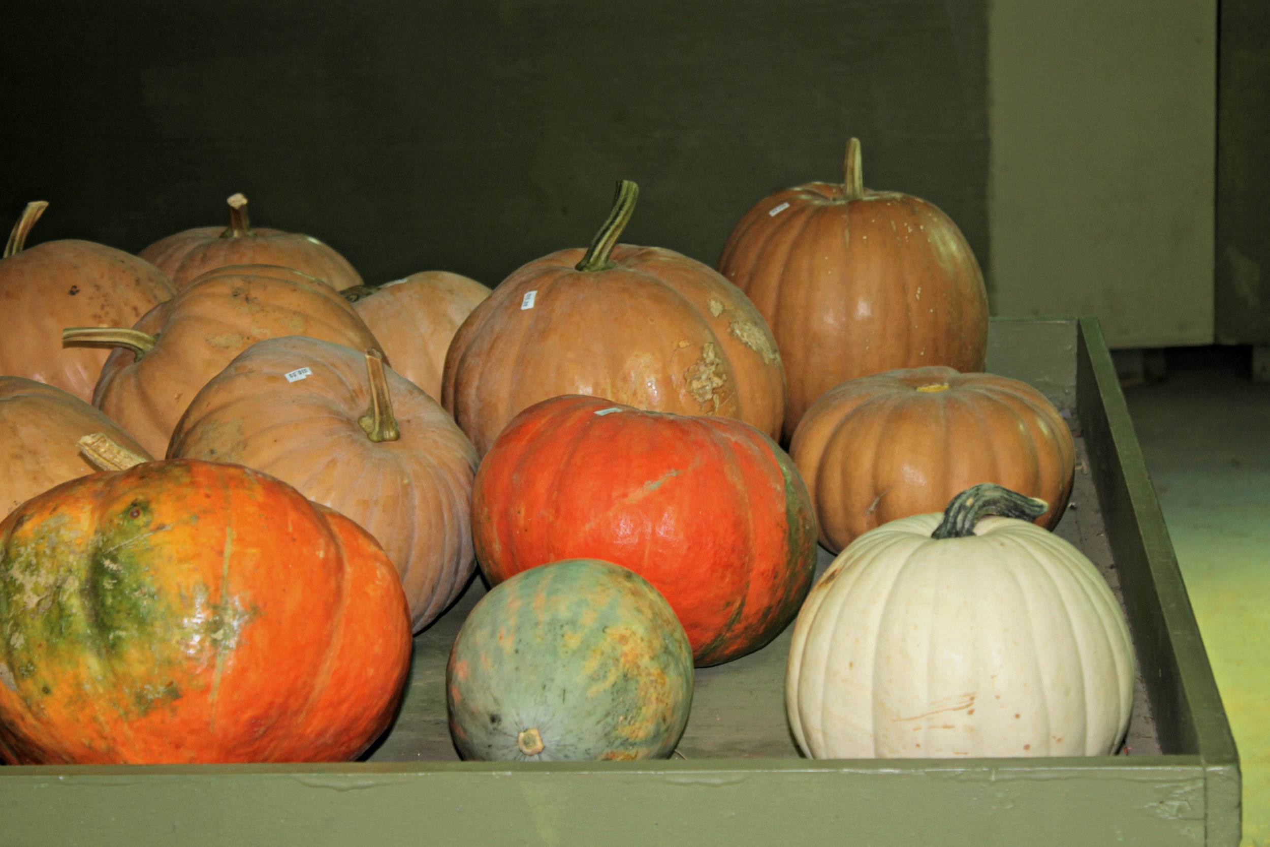 Along with pre-picked apples, pumpkins, gourds and other fall decorative vegetables are sold in the Sky Top market for great prices and multiple options for anyone to enjoy.