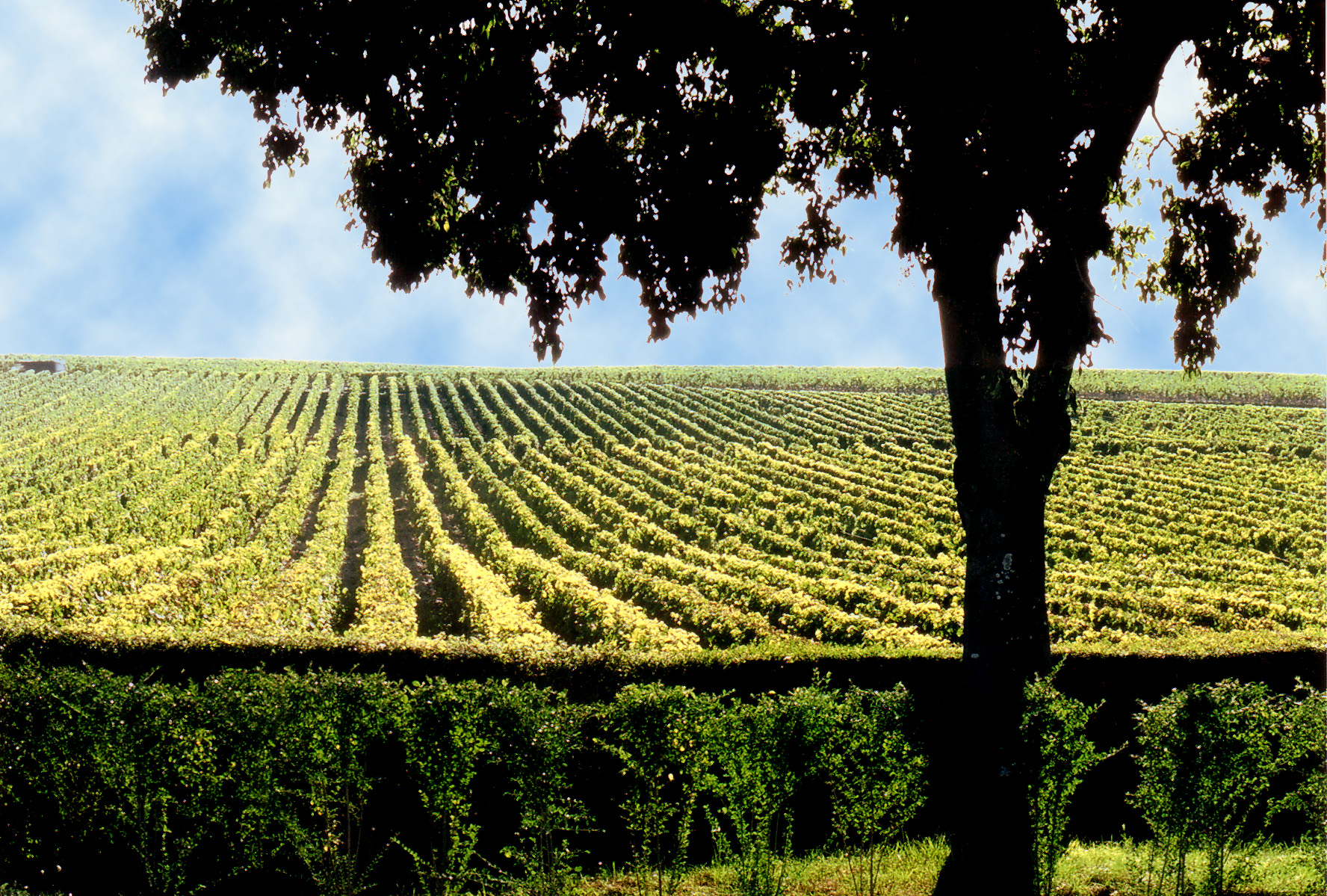 Lafite-vineyard.jpg