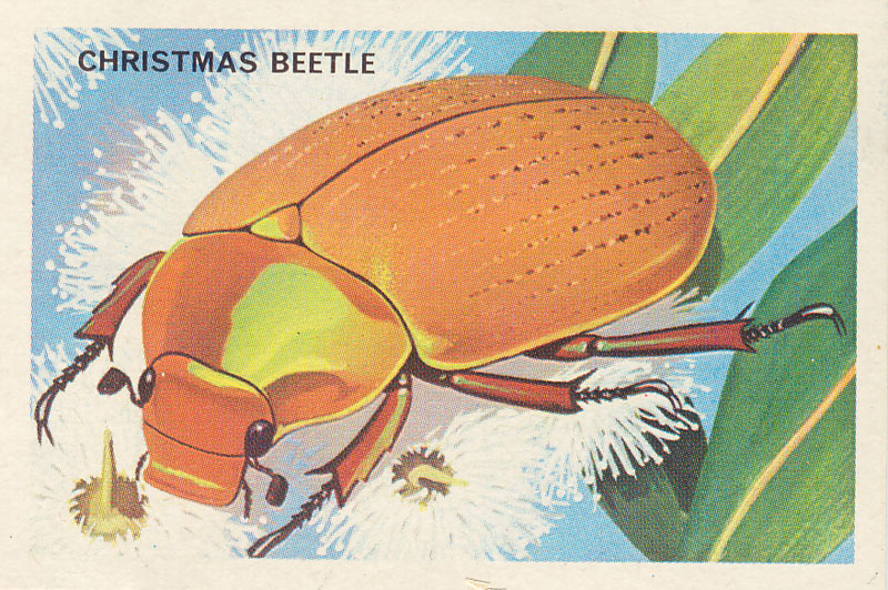 "The Christmas Beetle of the family Scarabaeidae, so named because it appears during December and January. It is often found ""swarming on gum saplings""—see, they are natural tree decorations! Their larvae are white grubs and would probably be quite a tasty alternative to the Christmas ham. (Image stolen from  The Australian National Botanic Gardens website )"