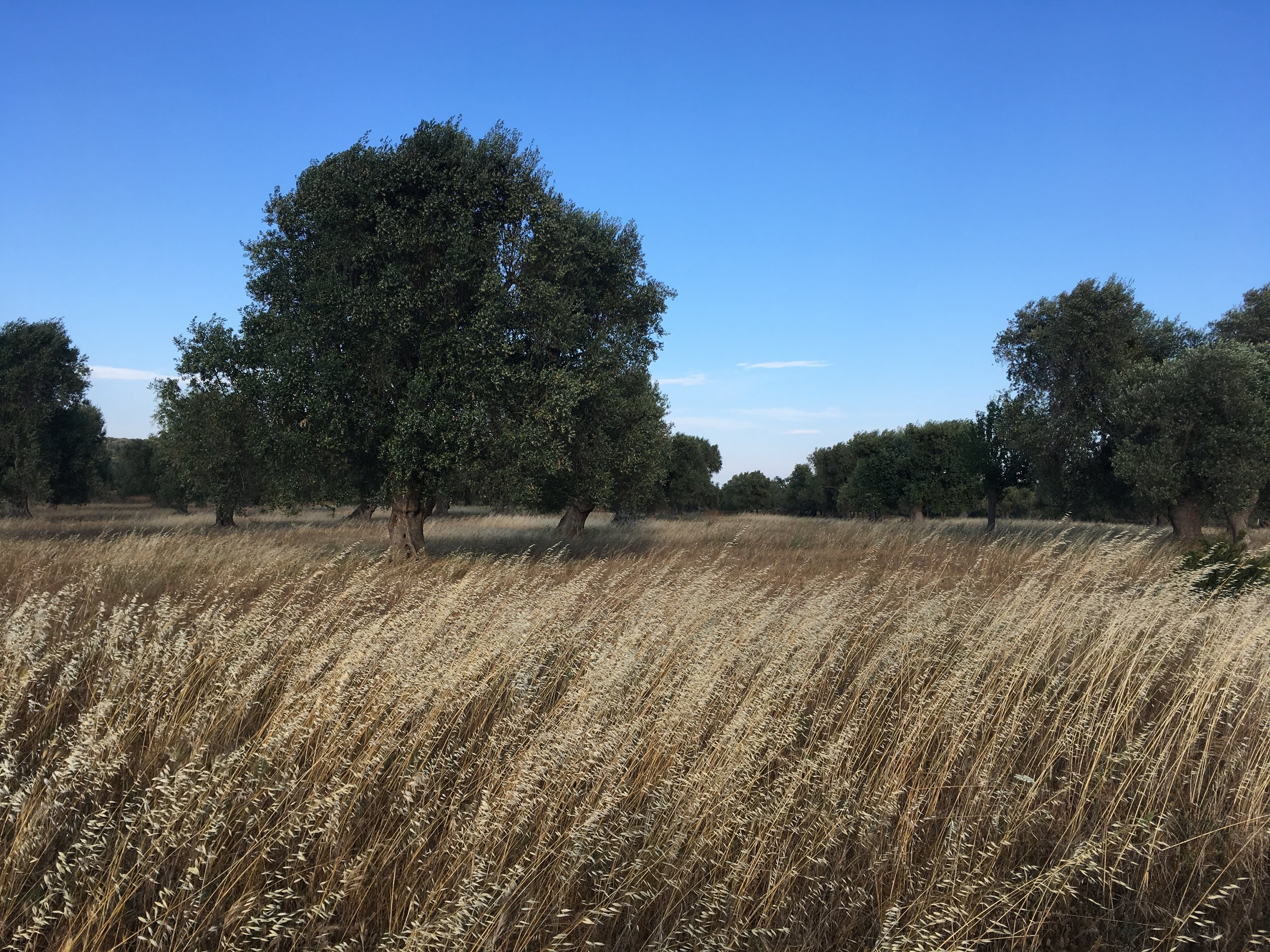 Best Puglia Basilicata Wine Tour -Fields of grain - La Dolce Vigna Wine Tours