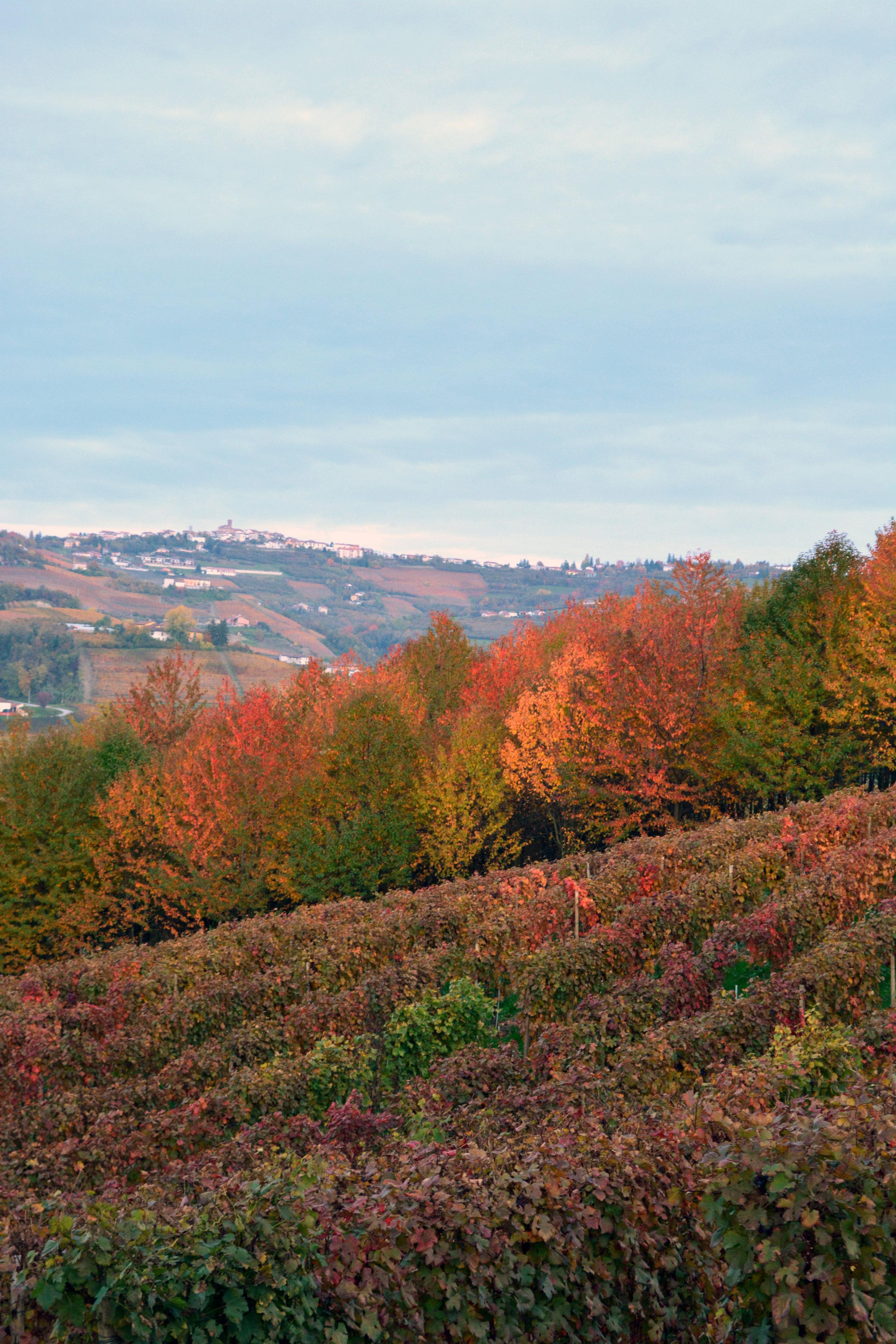 Piemonte Wine Tour_Vineyard_Autumn Colors_La Dolce Vigna Wine Tour