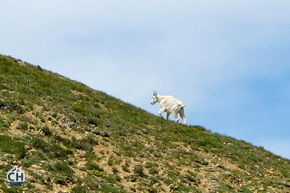goat on a hillside