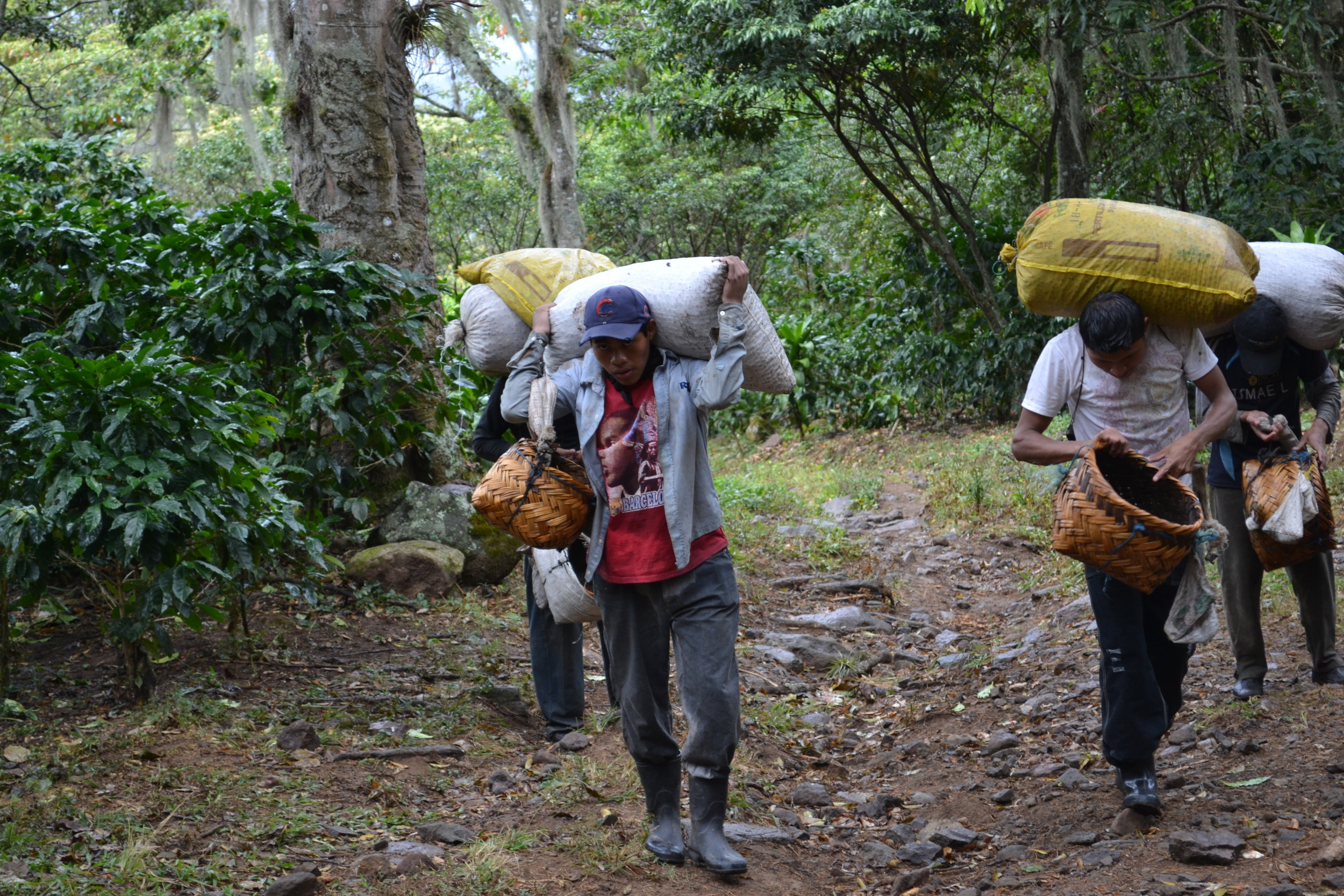 Observing the farming community. Here coffee pickers carry the coffee beans they have picked for the day.