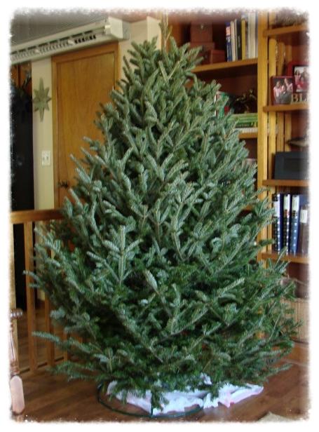 Frasier Fir Christmas Tree.Fraser Fir The Mustard Seed