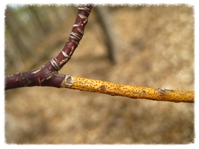 Drought-induced golden canker fungus.