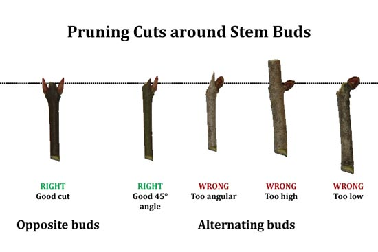 Pruning Cuts Around Stem Buds