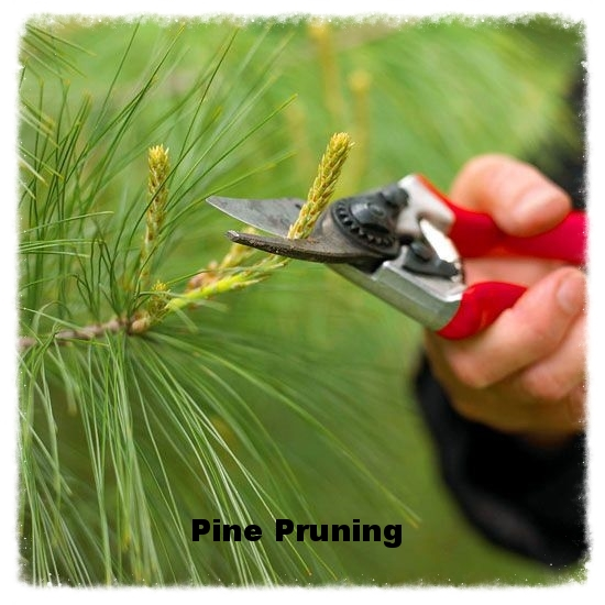 Pine Pruning.jpg