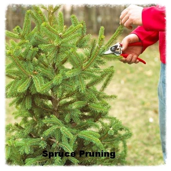 Spruce Pruning.jpg