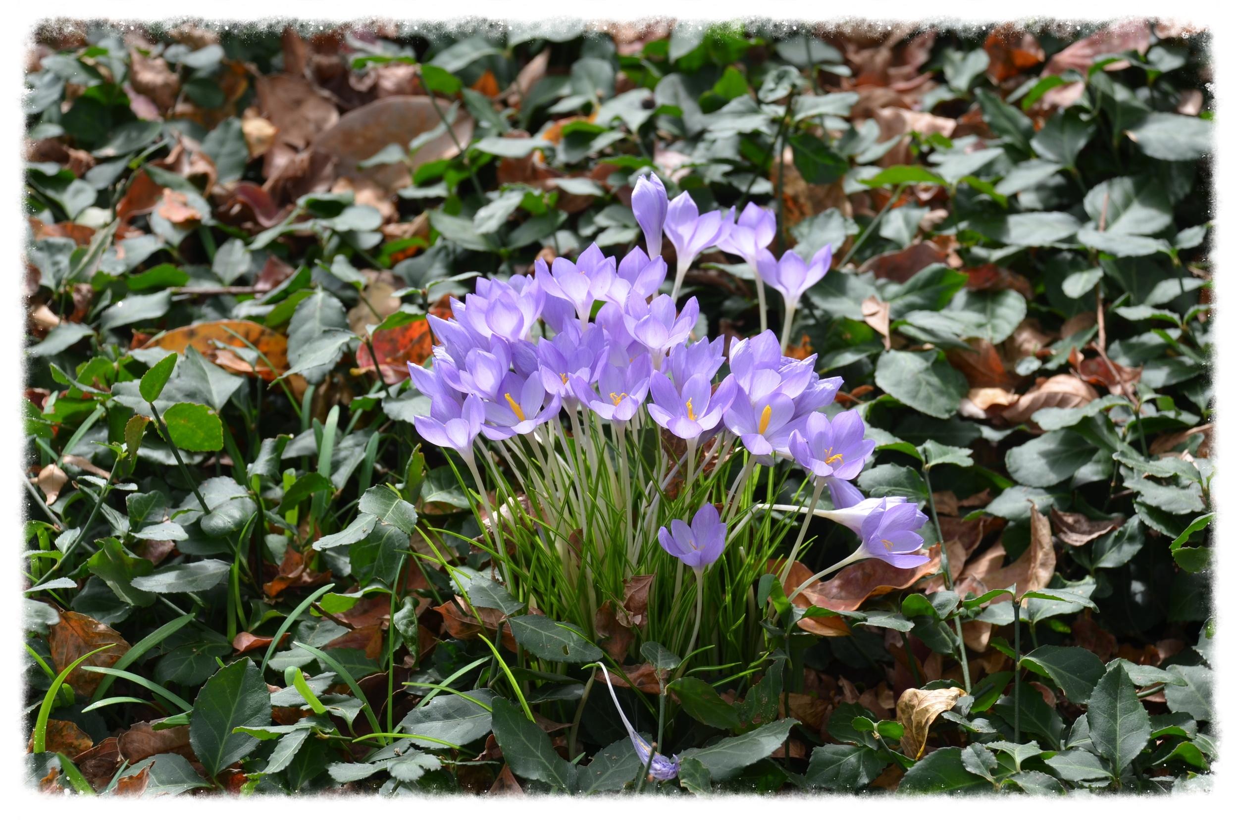 Autumn Crocus Planted in Vinca Minor Ground Cover