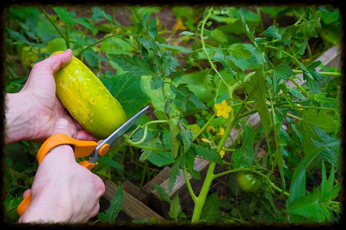 Slicing Cucumber Size